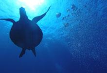 チャーターボートプライベートダイビング ウミガメ